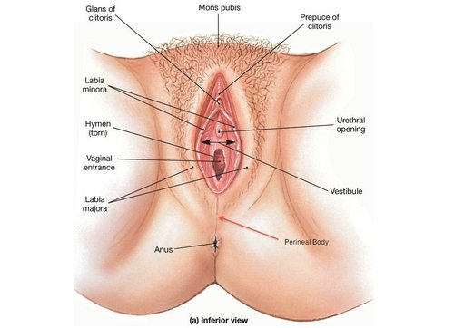 female sexual anatomy